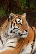 Nicole, one of the zoo's rare Amur tigers