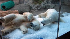 Polar bears play in ice