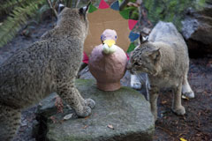 bobcats and turkey