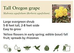 Oregon grape excerpt