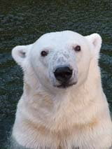 Tasul takes a dip in the icy waters of the Oregon Zoo polar bear habitat, an area that will undergo big changes in the years ahead. The City of Portland has granted land-use approval to the zoo for 10 years worth of community-supported improvement projects.