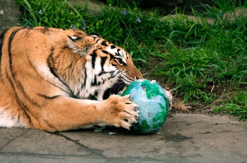 Tiger and ball