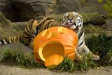Mikhail, a rare Amur tiger, kicks back with a giant jack-o'-lantern at the Oregon Zoo