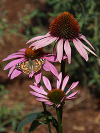 Painted lady butterfly on Purple coneflower (Echinacea purpurea) in the Cooper Demonstration Garden