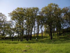 White Oak Savanna