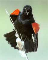 Photo of a red-winged blackbird